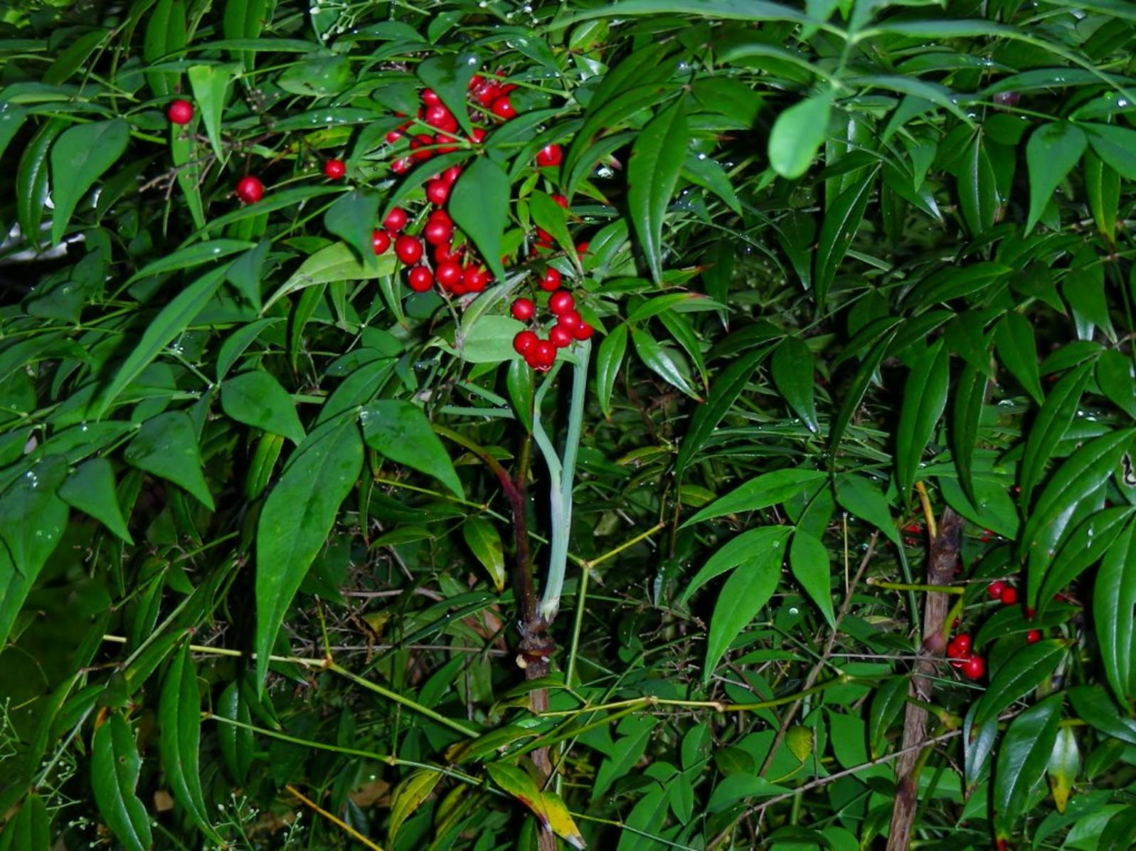 Nandina Berries Kill Birds on pacific northwest landscaping