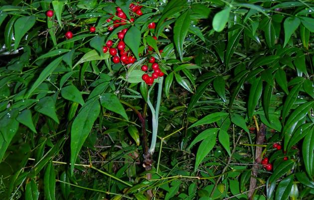 Nandina Berries Kill Birds