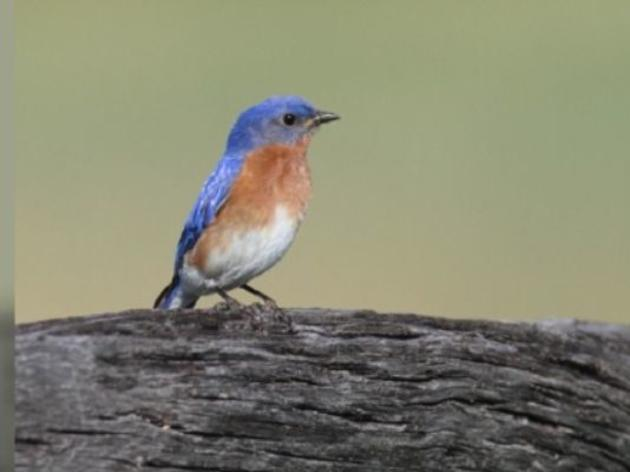 Bluebird makes dramatic comeback in Arkansas